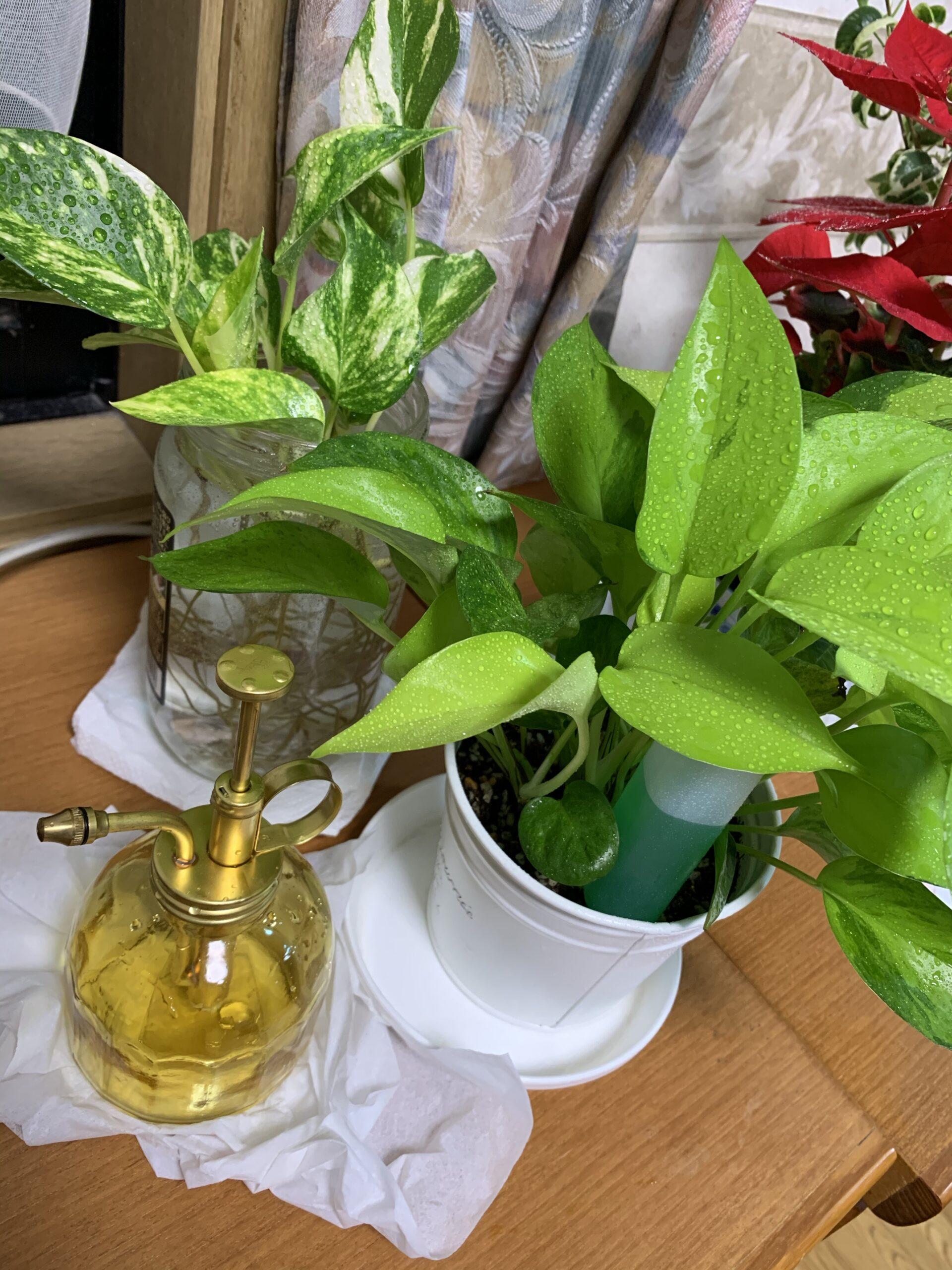 おすすめ!毎日楽しめる観葉植物はポトス!